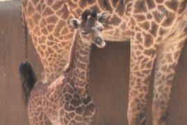 Жирафёнок Софи дебютирует в зоопарке Лос-Анджелеса
