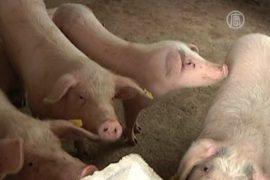 Китайские свиньи всё чаще болеют гриппом