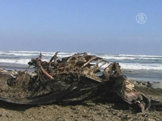 Сотни мертвых животных найдены на побережье Чили