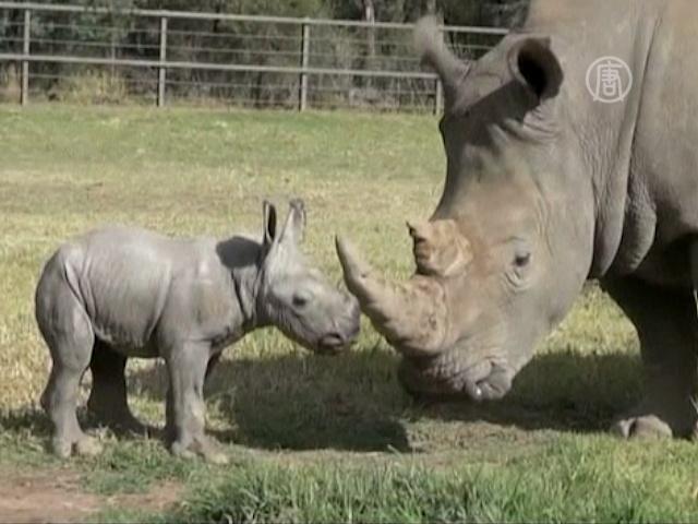 Белый носорог родился в австралийском зоопарке