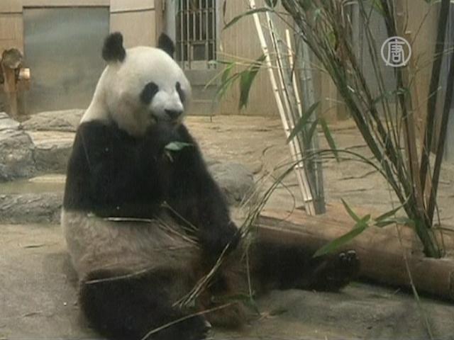 Токийская панда может быть беременной