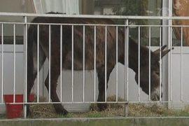 Ослиха на балконе жилого дома вызвала переполох