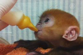 Редкой обезьянке помогут выжить