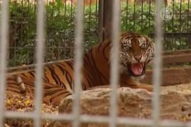 Тигра лечат иглоукалыванием