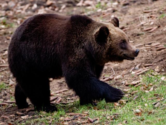 213 медвежьих лап изъяли у русских в Китае