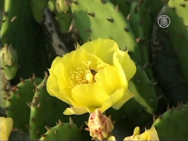 В Китае зацвело поле кактусов