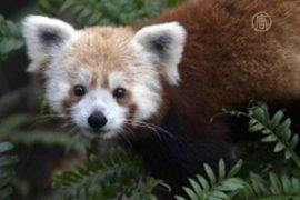Сбежавшую из зоопарка малую панду поймали
