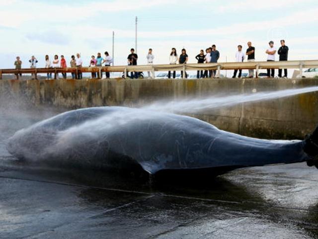 Австралия подала в суд на Японию за убой китов
