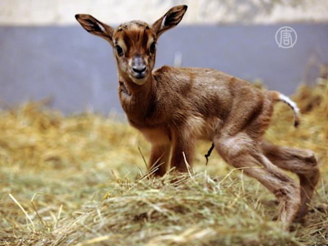 Ученые КНР нашли еще один «роддом» антилоп