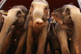 У слонов Индии начались каникулы