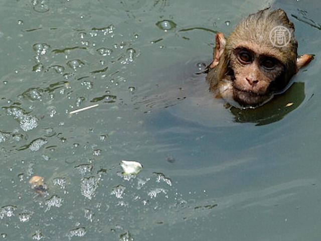 Обезьяна, которая регулярно ходит в бассейн