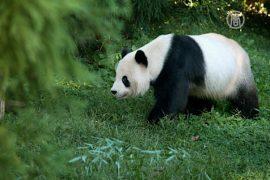 На Тайване родилась первая панда