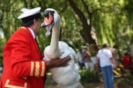 На Темзе пересчитывают королевских лебедей