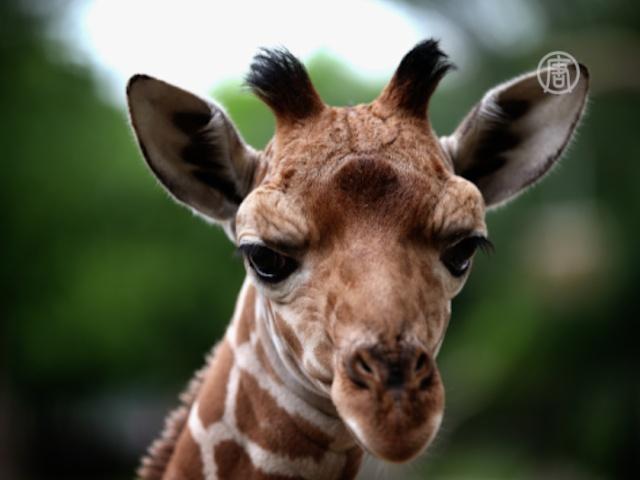 В зоопарке Буэнос-Айреса родился жирафёнок