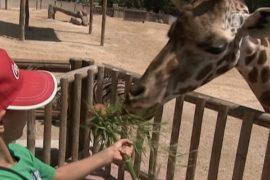 В зоопарке Мадрида можно покормить жирафов