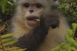 Учёные спасают курносых обезьян