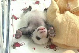 В Китае за месяц родилось 6 панд