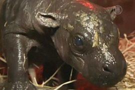 В чилийском зоопарке родился карликовый бегемотик