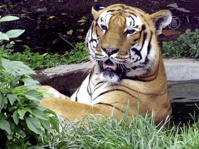 В Непале стало больше тигров