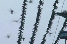 Китай: ласточки облепили электропровода