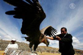 В чилийских Андах спасают заболевших кондоров