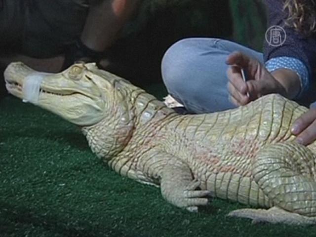 Аллигатора лечат иглоукалыванием