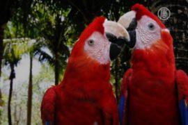 Редких красных ара выпускают на волю