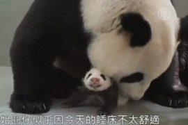 Трогательное воссоединение панды и её детёныша