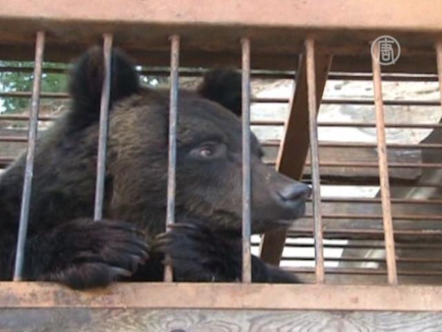 Медведей спасали от наводнения вертолетом