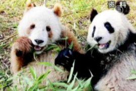 Панды бывают коричневыми!