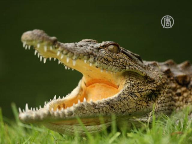 Полиция Екатеринбурга ловит крокодила