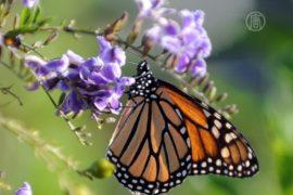 Бабочкам-монархам грозит гибель из-за вырубки
