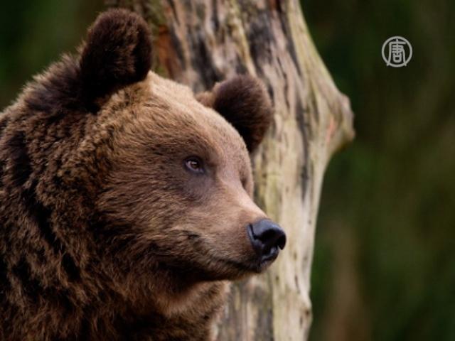 Бурых медвежат спасают в приюте