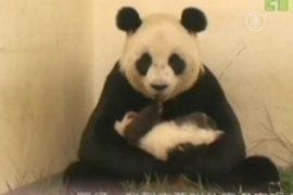 Тайбэйская панда растет не по дням, а по часам