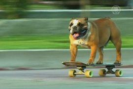 Перуанский бульдог-скейтбордист «взорвал» Интернет