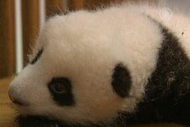 14 детёнышей панд дебютируют в Китае