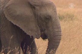 Дикие слоны стали кошмаром для индийских фермеров