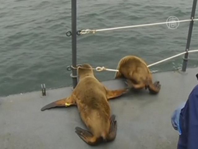 В Перу вернули в океан 6 морских львов