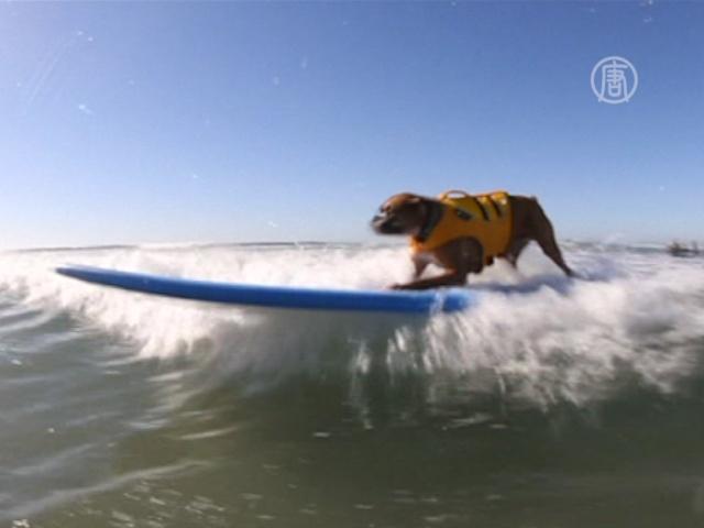 Собачий сёрфинг показали в Калифорнии