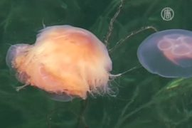 Швеция: АЭС остановилась из-за медуз