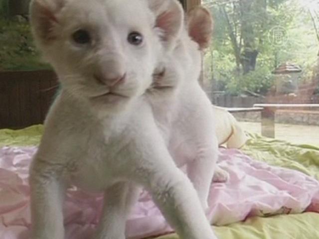 «Кошачий» бум от Сеула до Лондона