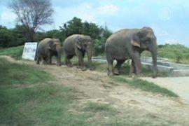 Больных индийских слонов выхаживают в «Раю»
