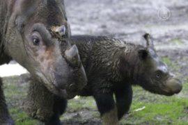 Видео: суматранские носороги в Борнео не вымерли!