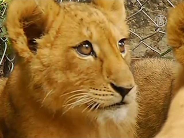 Пятикратное кошачье пополнение в зоопарке Мексики