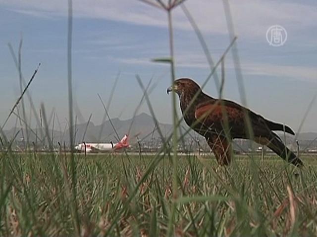 Аэропорт в Рио патрулируют соколы