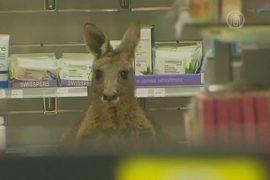 Кенгуру ловили в аптеке аэропорта