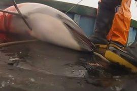 Рыбаки Перу тысячами убивают дельфинов