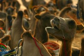 Китай: заезд на тысяче верблюдов побил рекорд