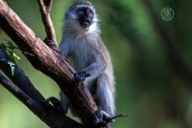 В Джакарте закроют «обезьяний» бизнес