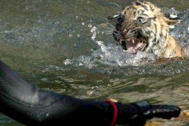 Тигрята учатся плавать